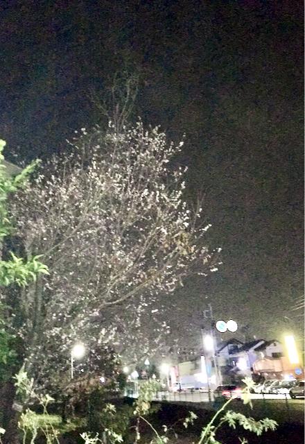 11月の桜.jpeg
